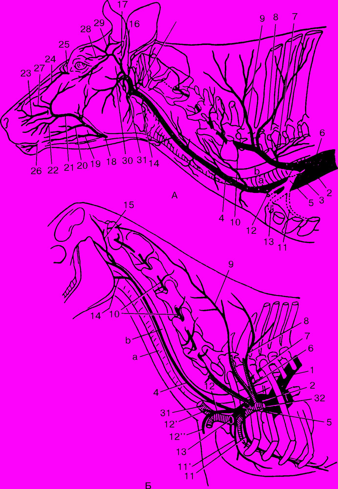 colici pe penis modul de prelungire a erecției și a actului sexual în sine
