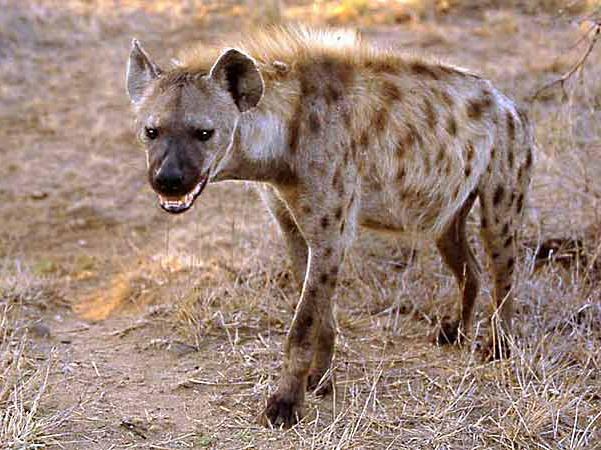 penis hienă feminină