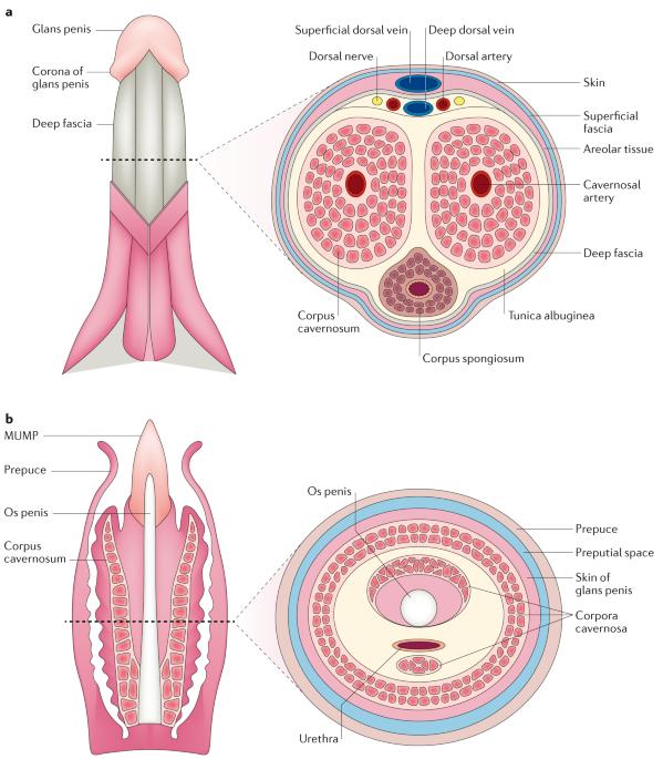 tratamentul penisului după actul sexual