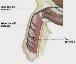 exercițiu pentru erecția penisului