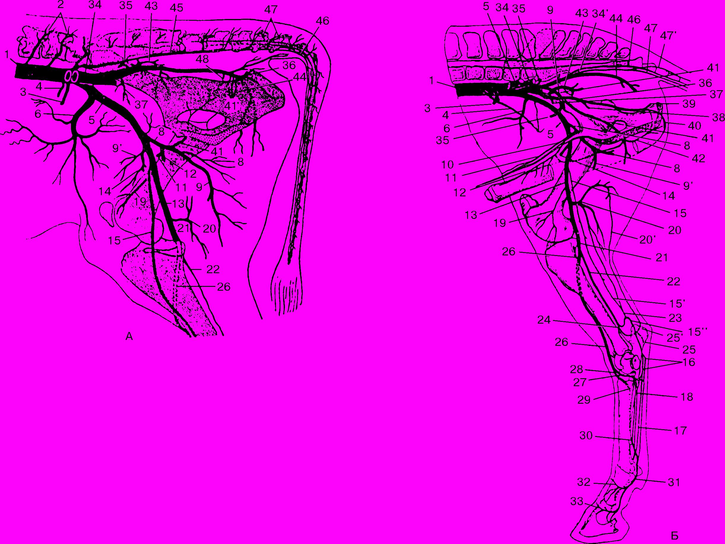 colici pe penis boala penisului ascuns