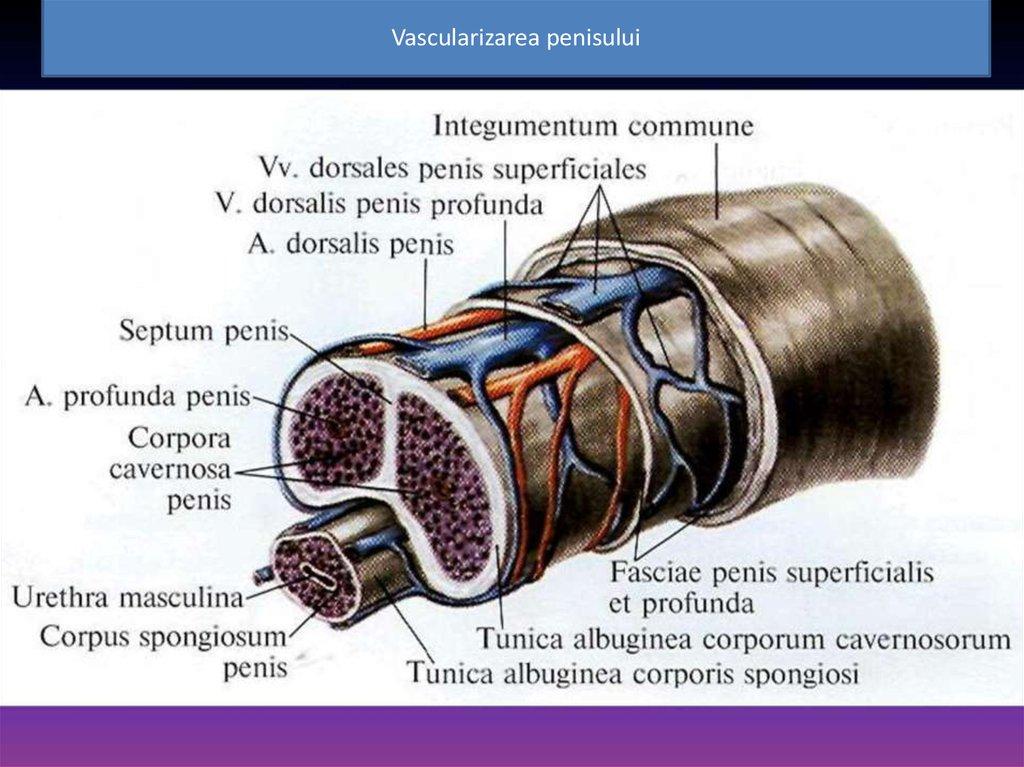 cum se mărește penisul cu o lună