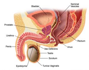 erecția dispare după prostatită