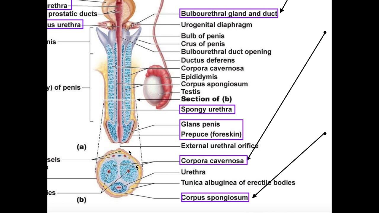 penisul cade în timpul actului sexual când există un penis mic