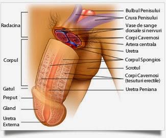cum se vor exercita mărirea penisului