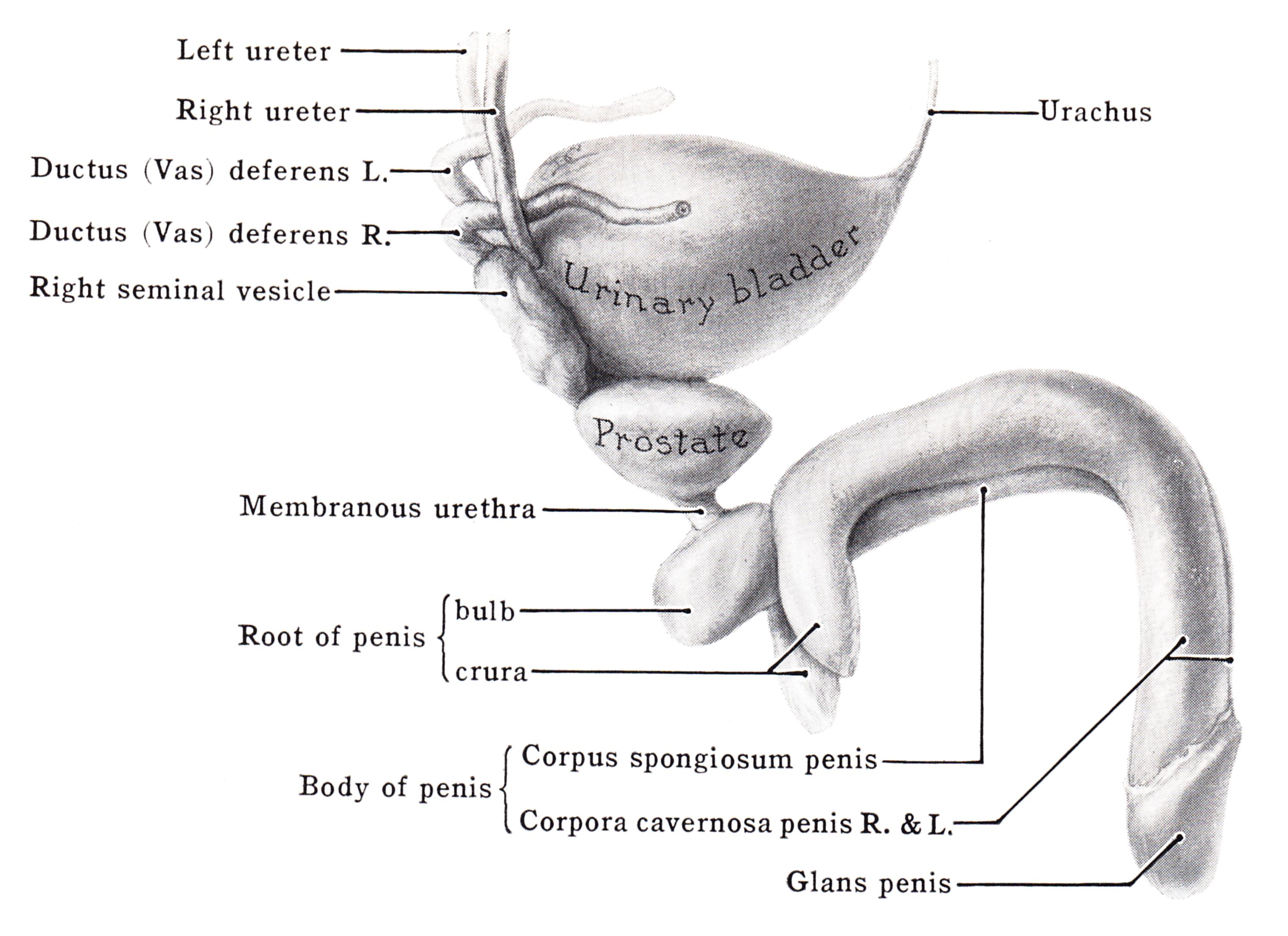 Extensie Penis 20cm | cazare-albac.ro