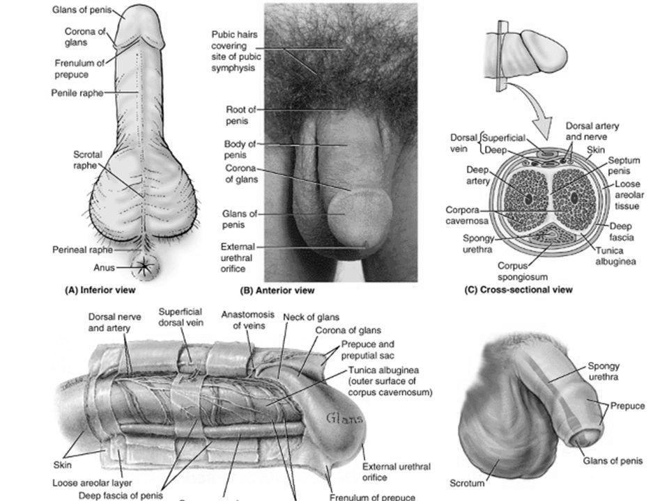 dimensiuni penis femei