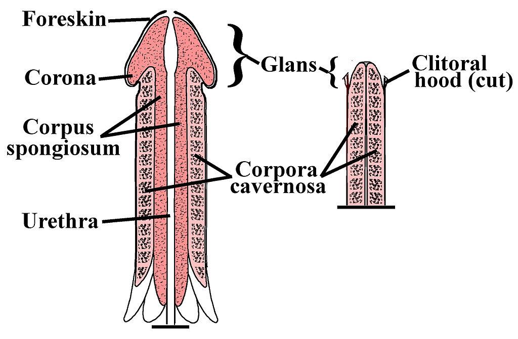 erecția de dimineață nu este un indicator înălțimea masculină și lungimea penisului