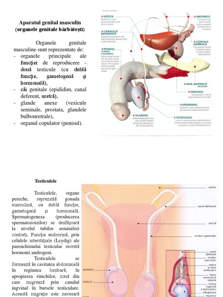 organele genitale feminine și penisul produse pentru mărirea penisului pentru bărbați