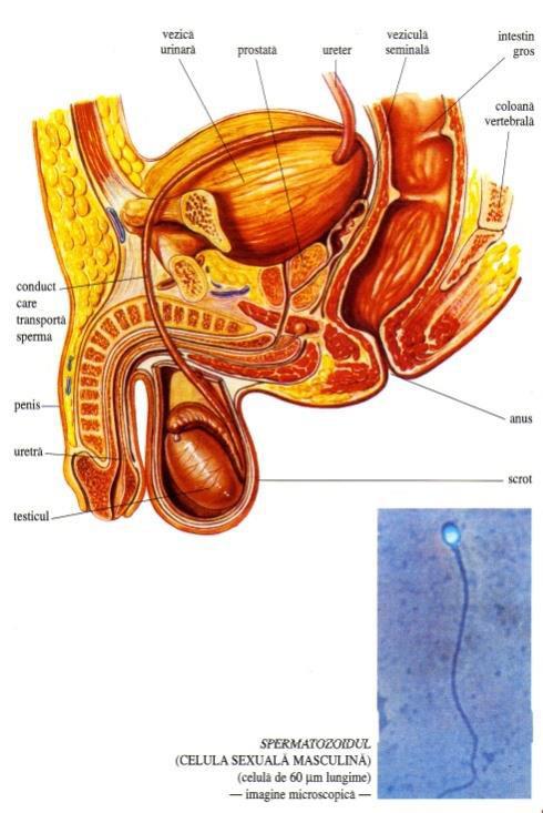 organele genitale feminine și penisul Am nevoie de exerciții pentru mărirea penisului