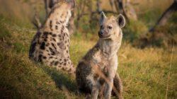 penis hienă feminină erecție pierdută noaptea