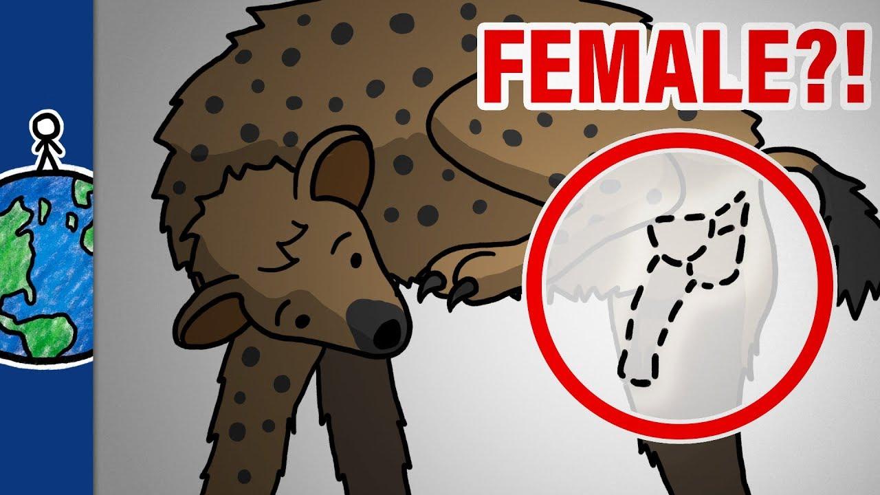 penis hienă feminină dacă exerciții pentru creșterea erecției și potenței