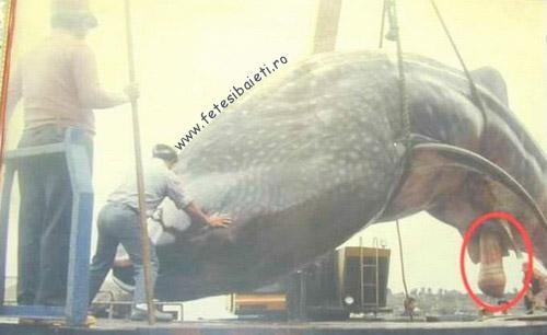 penisul balenă ucigașă din care îți poți mări penisul