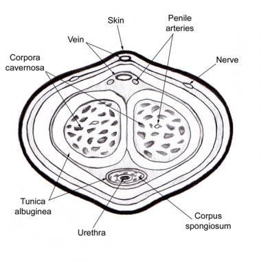 ureter în penis