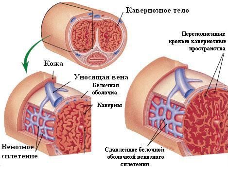 lista medicamentelor pentru erecție crește îmbunătățirea erecției