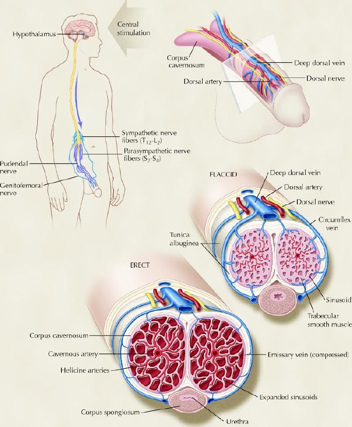 structura penisului uman