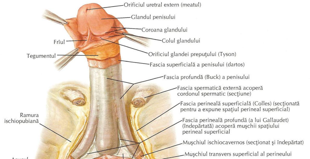 erecția sexuală categoria penisului mic